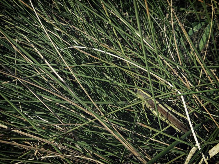 Grasshopper in grass field