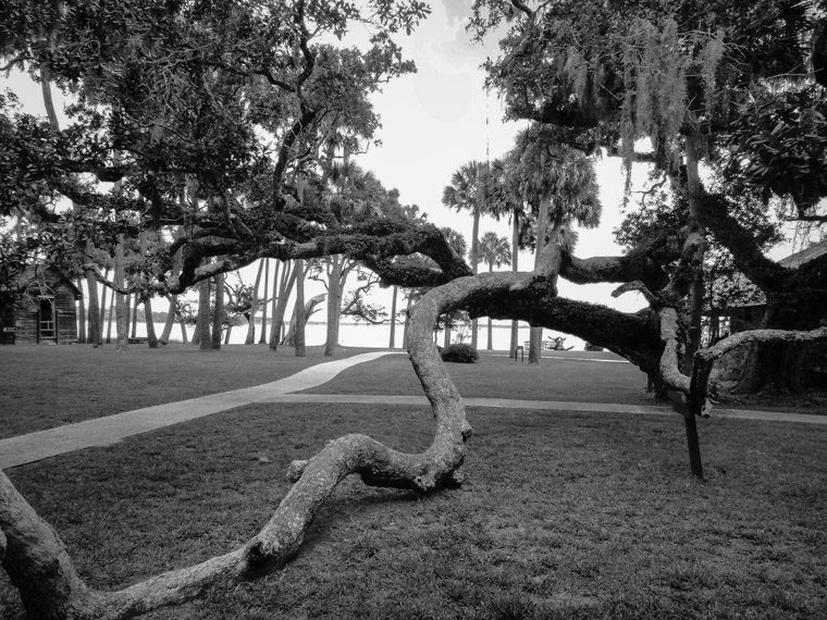 Princess place live oak tree