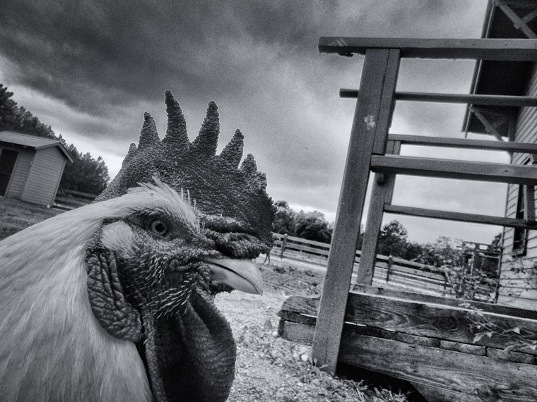 Rooster at Florida Agricultural museum