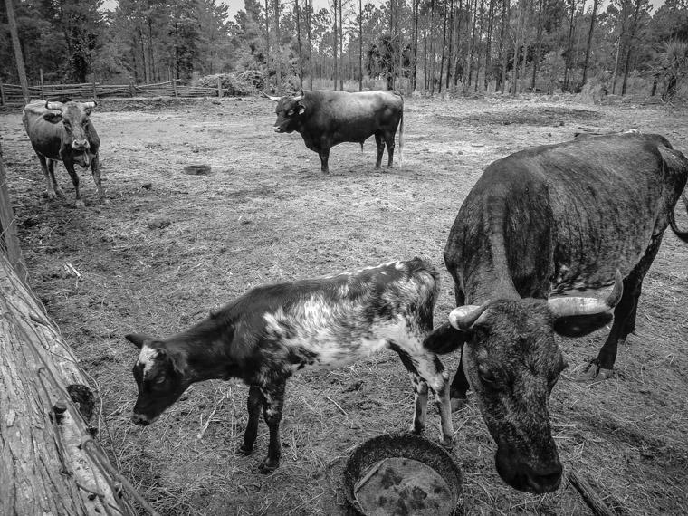 Florida Agricultural Museum Cracker Cattle Farm