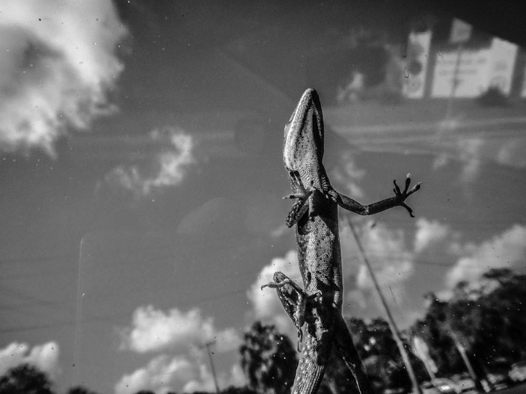 gecko lizard on car window