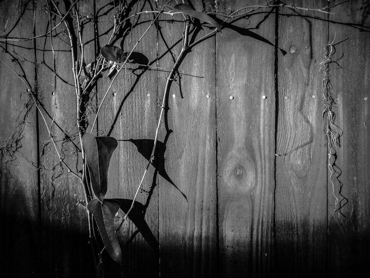 Vine on fence shadows