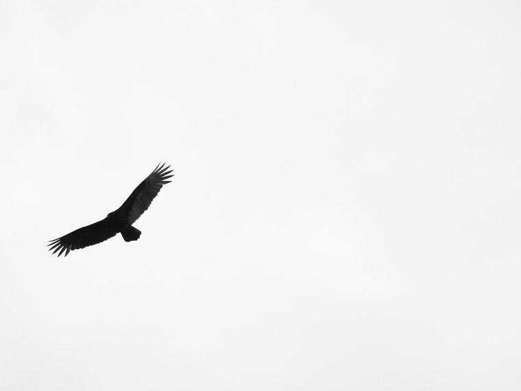 Bird vulture flying in sky