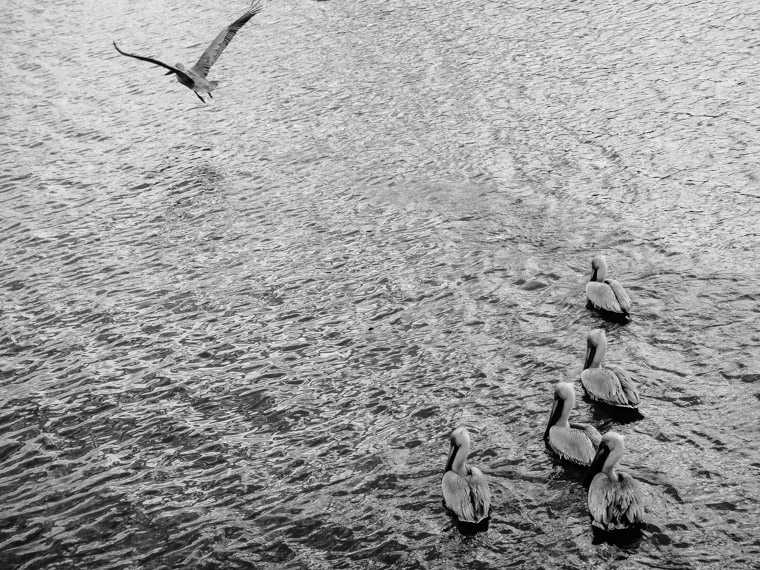 Pelicans on the ocean water intracoastal