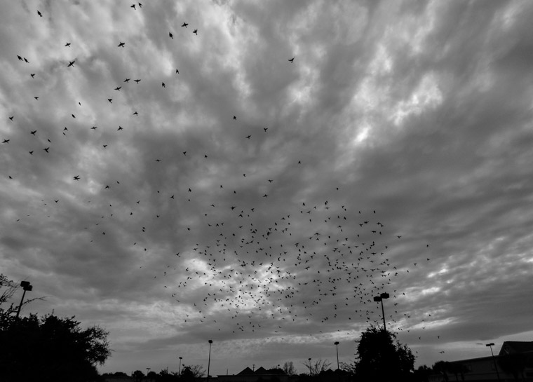 Flock of birds in cloudy sky