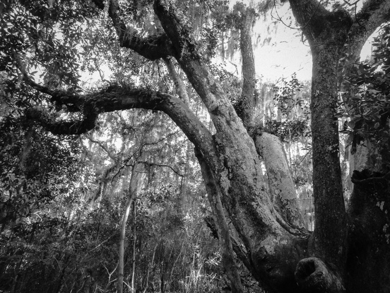 Anastasia state park live oak tree