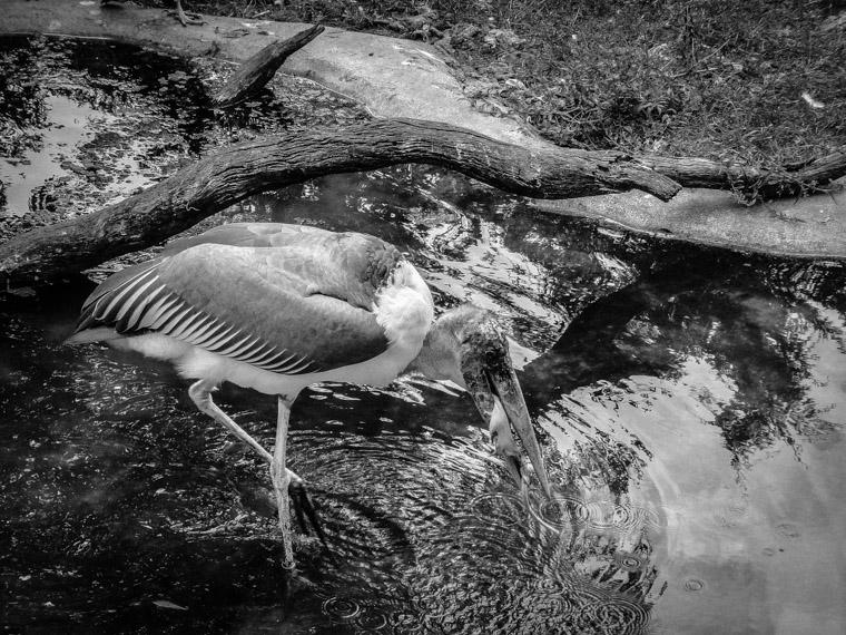 Alligator farm bird feeding