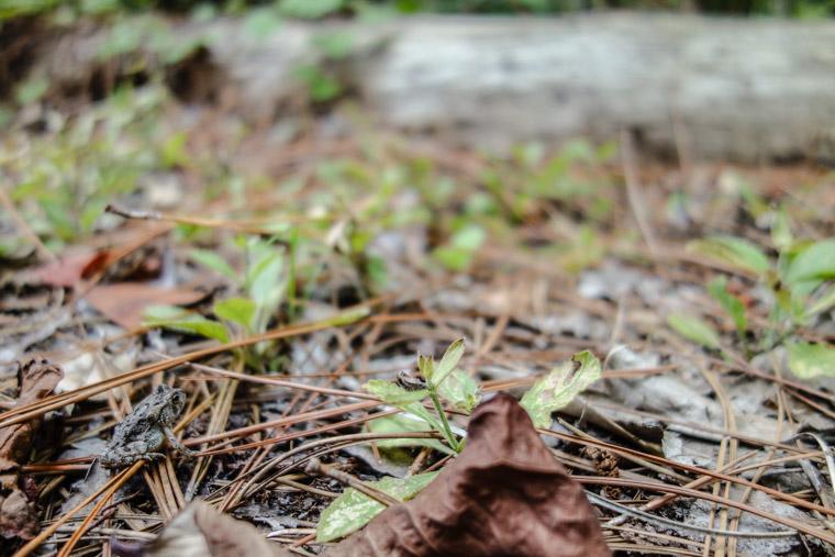 Treaty park frog on pine needles