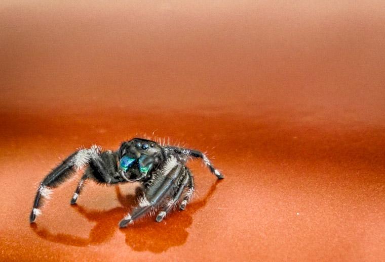 Phidippus audax spider on a car