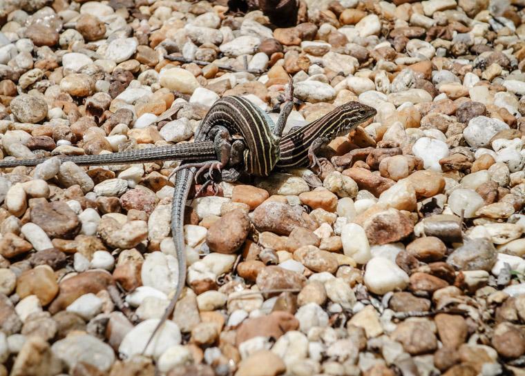 Lizards mating