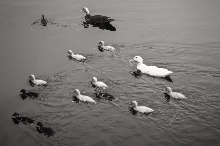 baby ducks swimming at treaty park pond