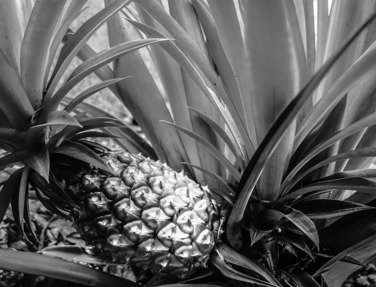 Ripe Pineapple growing in backyard garden
