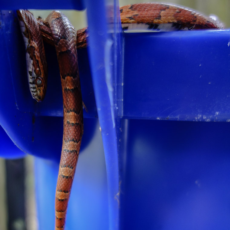 Eastern Corn Snake trapped in trash can lid