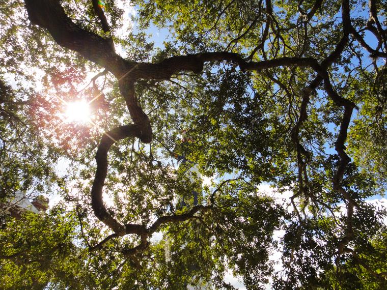 Lighthouse and live oaks with sunshine