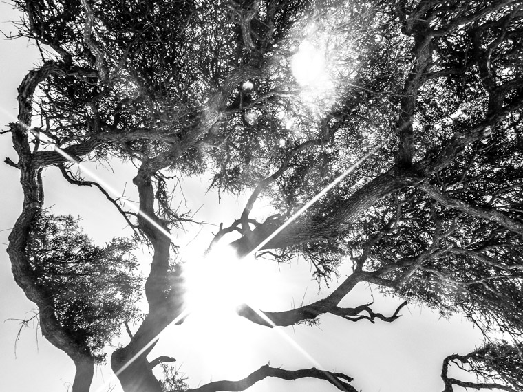 Live oak at anastasia state park