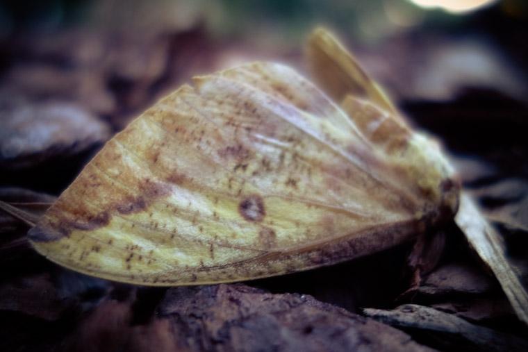 Dead moth on mulch