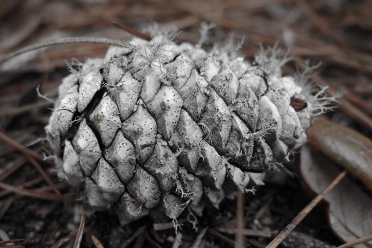 Pine cone with lichen