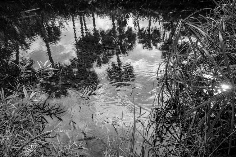 Washington Oaks Koi Pond Snake Palm Tree Reflection