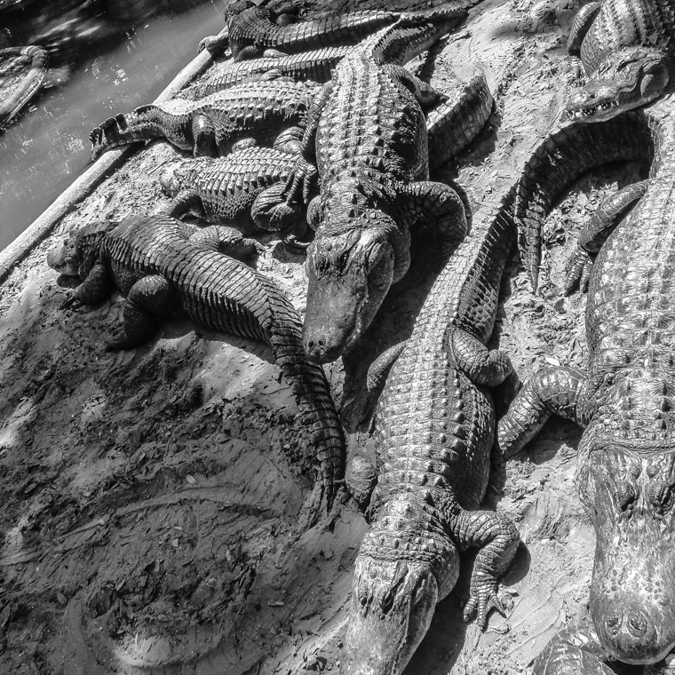 Alligator farm pile