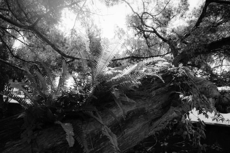Fern on live oak in the sun