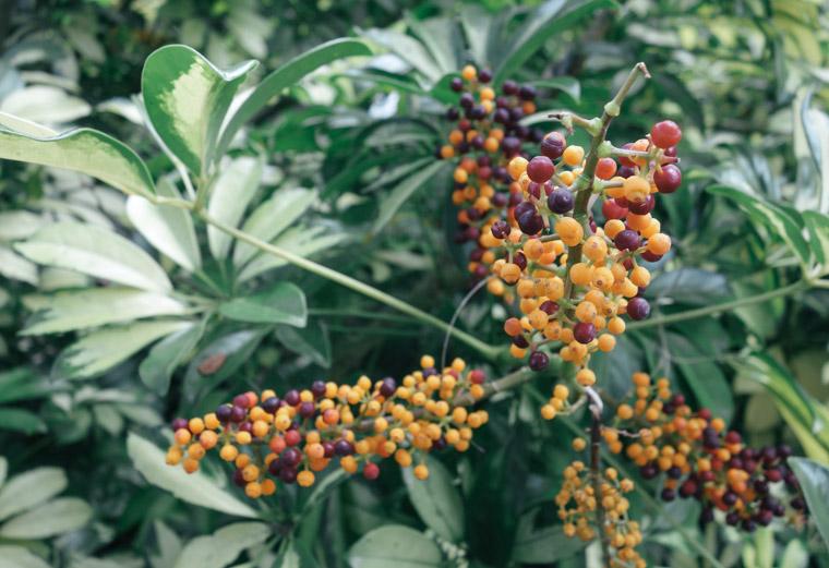 Washinton oaks state park berries on plant