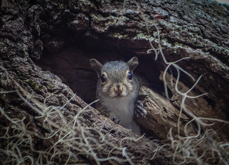 Squirrel living in tree trunk