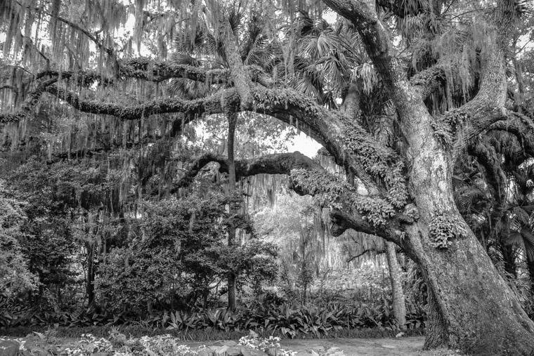 Live Oak at Washington Oaks State Park