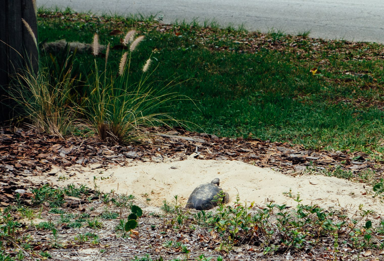 Gopher Tortoise turtle hole in yard