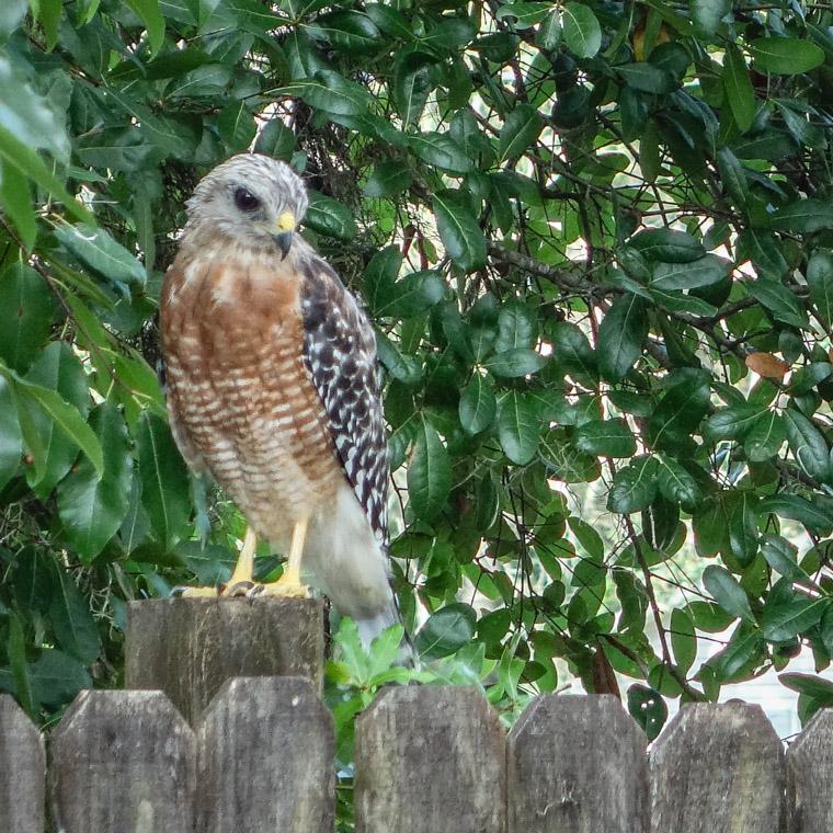 Hawk bird perched on fence
