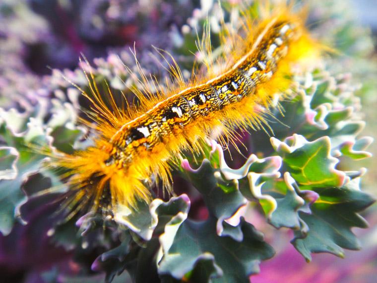 Caterpillar on ornamental cabbage