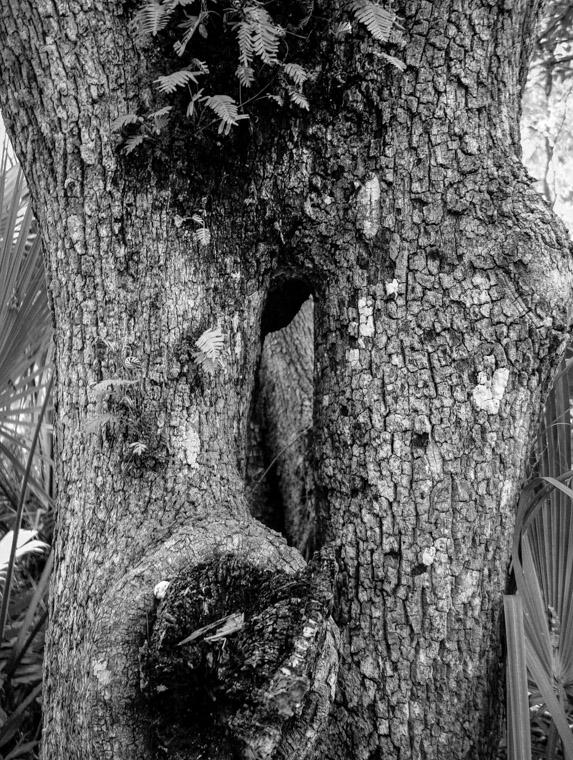 Washington Oaks Tree with hole