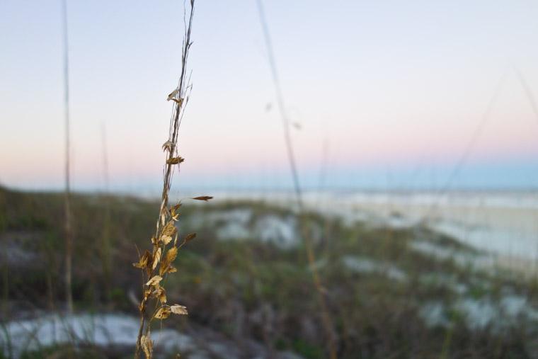 Dune grass at Anastasia State Park Beach