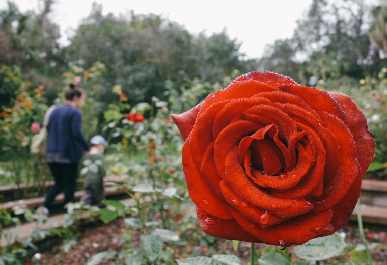 Washington Oaks State Park Rose garden