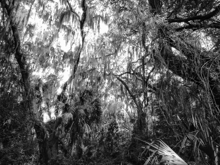 Trail of live oaks and moss